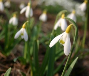 Galanthus Spindlestone Surprise